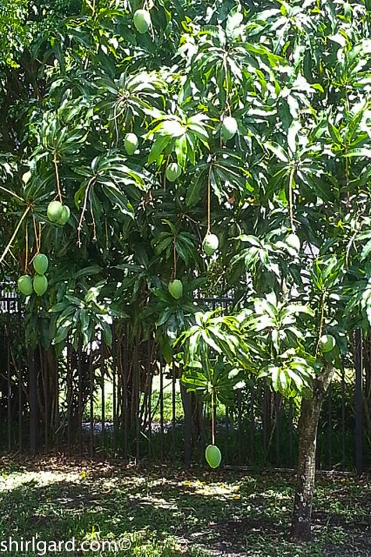 "Greg & Alciia's ""Dripping"" Mango Tree"