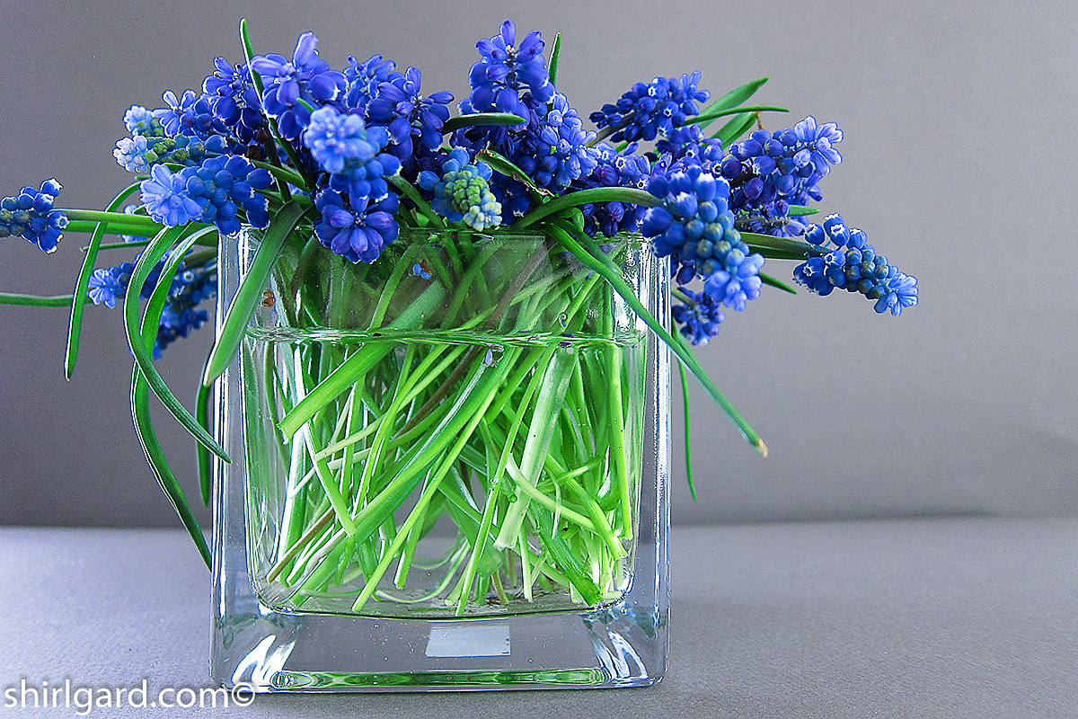 Blue Hyacinths: It must be Spring